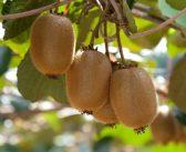 Time to ban hazardous kiwifruit spray?